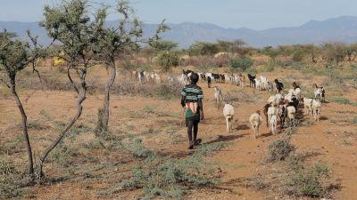 keniansk herde vallar boskap