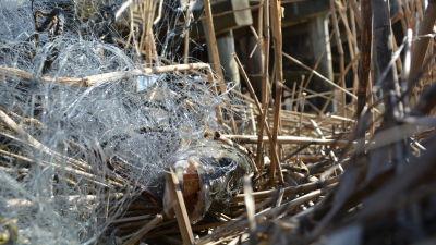 Gädda i trassligt nät i vassruggen