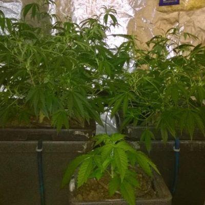 Kannabiskätkö lahtelaisessa omakotitalossa.