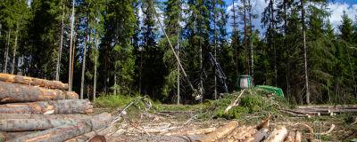 I förgrunden syns stockar, i bakgrunden en grön skogsmaskin som fäller ett träd.
