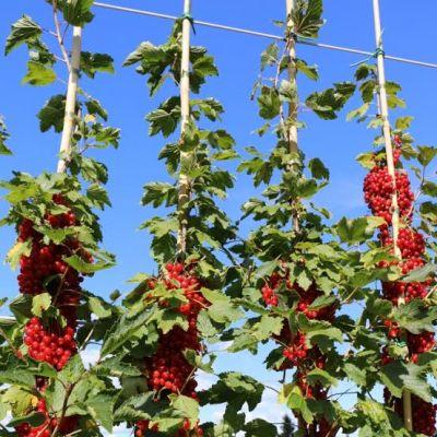 Uusi punaherukkalajike kasvaa