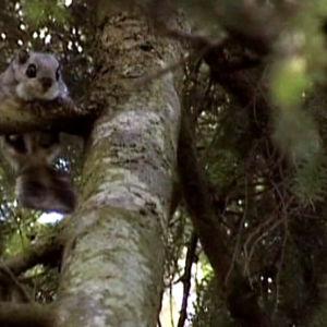 Liito-orava puussa.