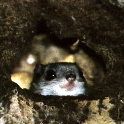 Liito-orava kurkkii pesäkolostaan.