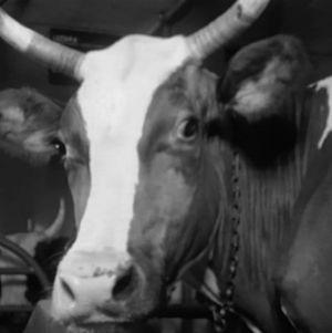 Kuva lehmästä
