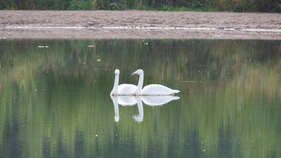 Två svanar i vattnet.