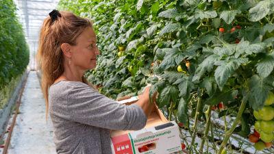 Päivi Laitinen plockar tomater i växthuset