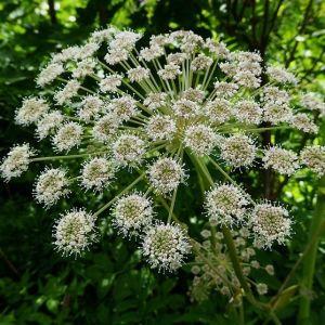 Curt undrar om denna växt utanför tomten hör till de giftiga arterna. Den är 170-180 cm hög.