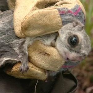 Tutkija tarkastaa pannoitettua liito-oravaa.