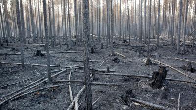 Nerbrunnen skog, marken tävkt av grå aska och endast grå trädstammar kvar.
