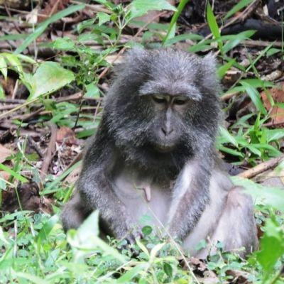Apinanaaras istuu maassa lehtien keskellä.