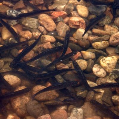 Kalanpoikasia ui rantavedessä.