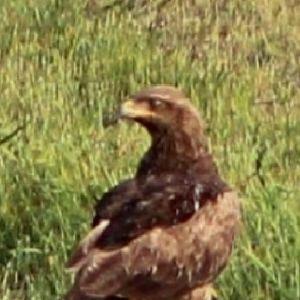 Camilla såg en brun fågel som stämmer in på mindre skrikörn. Kan det vara den?
