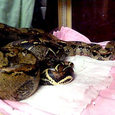 Oulusta Toppilasta löydetty kuningasboa terrariossa eläinkodissa
