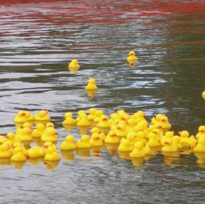 Små gula plastankor badar i Svartån i Karis.