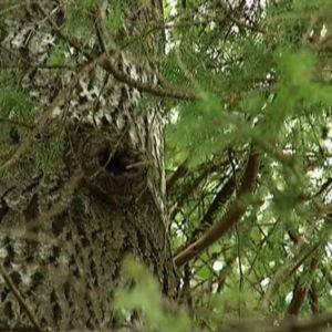Liito-oravan pesäkolo vanhassa haavassa.