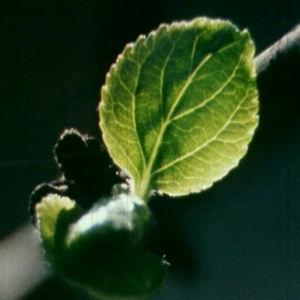 Omenapuun lehti