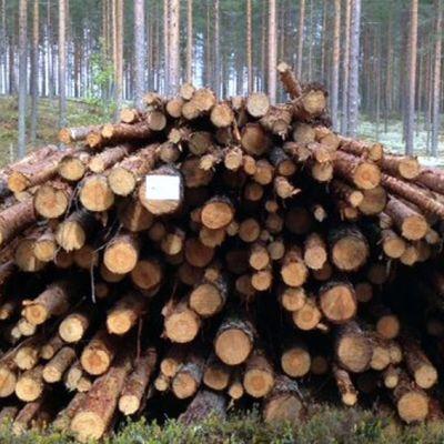 Kuorittuja havupuita metsässä