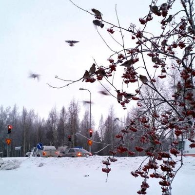 Tilhiä oululaisessa pihlajassa talvipakkasessa 2015.