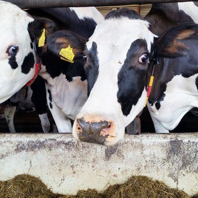 Lypsykarjaa rantsilalaisella maitotilalla.