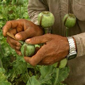 Oopiuminviljelijä viiltää unikon siemenkotaa dokumentissa Heroin Express (1995)
