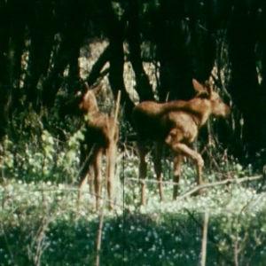 Hirven vasoja metsässä