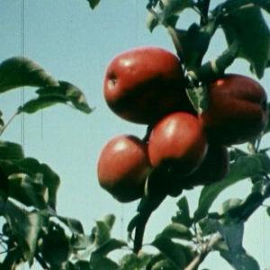Omenoita omenapuun oksassa