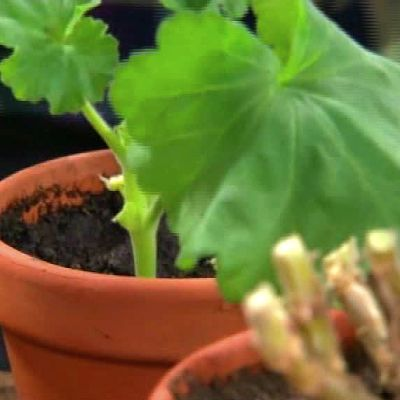 Vårskötsel av krukväxter