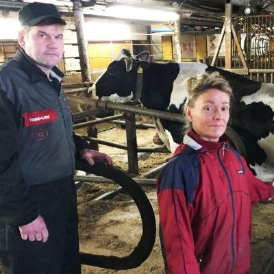 Lehmät liikkuvat vapaasti Hilkka ja Arto Kopolan suuressa navetassa Kärsämäellä.