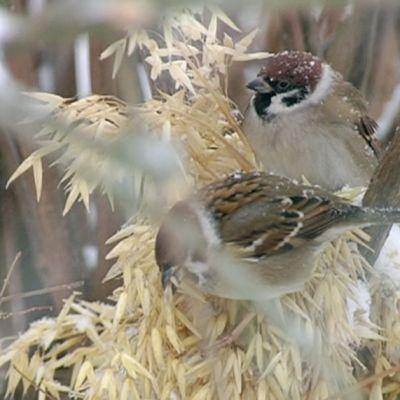 Sparrows at a feeding spot in Lauttasaari, Helsinki.