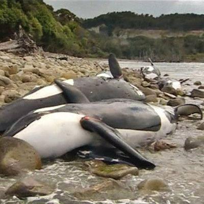 Miekkavalaiden ruumiita rannalla Uudessa-Seelannissa.