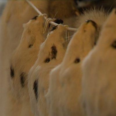 Rivi turkiseläimiä roikkuu orrella.