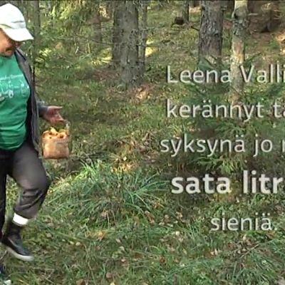 Yle Uutiset Lounais-Suomi: Muutamassa viikossa sata litraa sieniä – himosienestäjää eivät edes hirvikärpäset estä