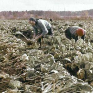 Naisia sokerijuurikaspellolla.