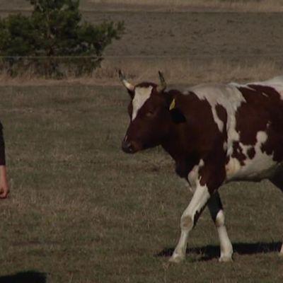 Lantbrukaren Henrika Husberg med en av sina kor ut på åker.