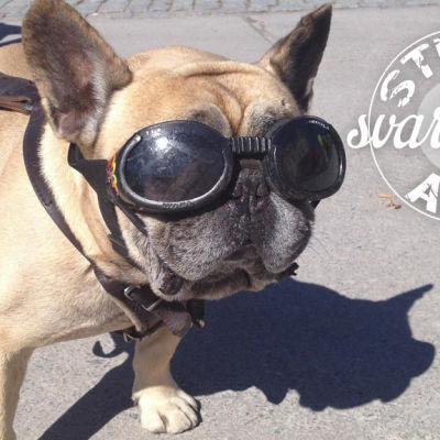 Hund med solglasögon på och text Stedan svarar på allt