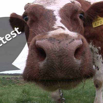 En ko med mulen i närbild med en pratbubbla var det står dialekttest