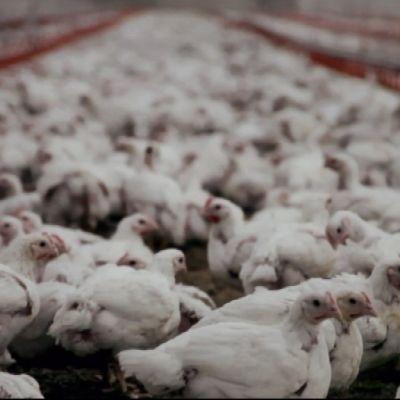 Kycklingar vandrar på en farm. (Bilden är från dokumentären Vem fixar biffen?)