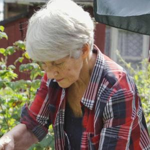 Äldre dam i rutig skjorta står i lummig trädgård och häller upp hett vatten ur metallpanna.