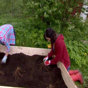 Anne och Lotta planterar sparris på på små kullar jord.