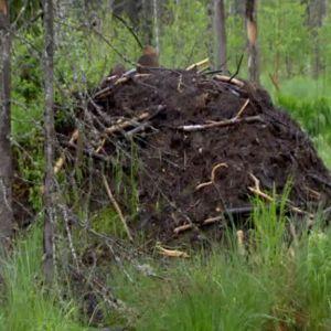 Bäverbo i Patvinsuo nationalpark