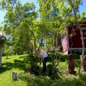Alexandra planterar vallört på Strömsö.
