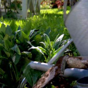 Vallörten är planterad.