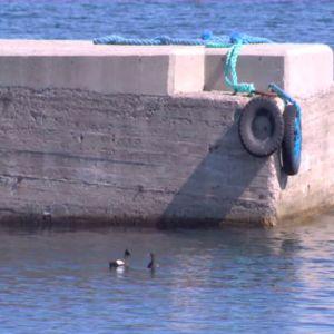 I hamnen simmar sjöfåglar.