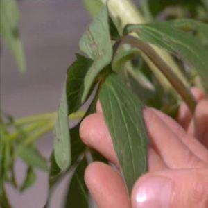Vänderoten har avlånga mörkgröna blad.