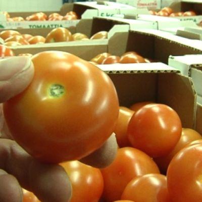 Tomater i lådor