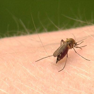 Mygga i färd med att suga blod