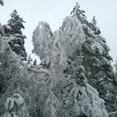 Kuvassa lumisia havupuita.