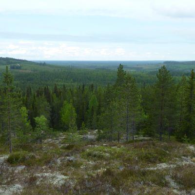 Kainuulaista metsämaisemaa