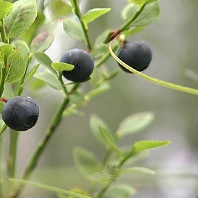 Mustikoita metsässä