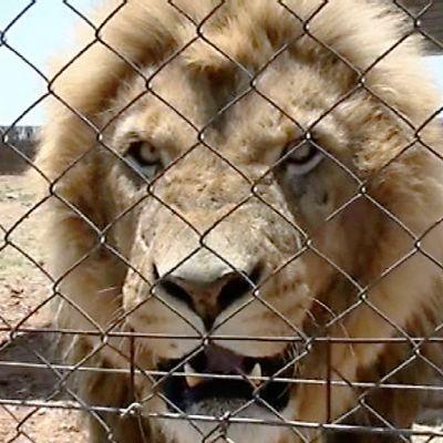 Leijona tarhassa.